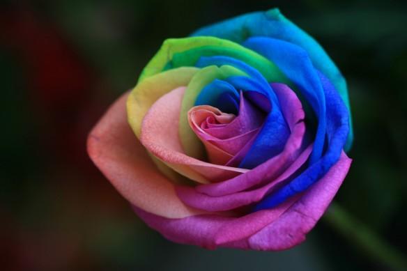 intvgene_rainbow-rose_zknqrgjc